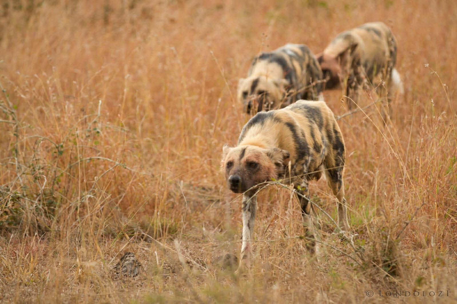 Wild Dog Stalk Jt