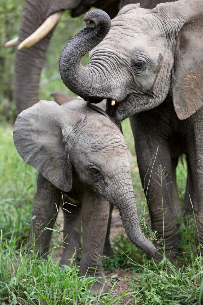 Elephant Calves Jt