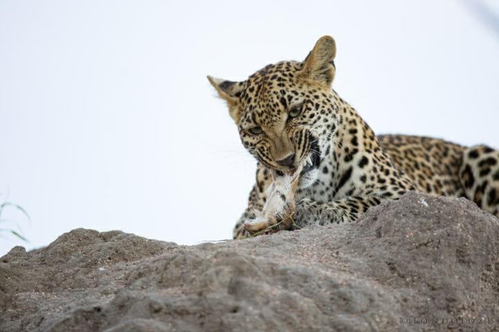 Ingrid Dam Young Leopard Jt