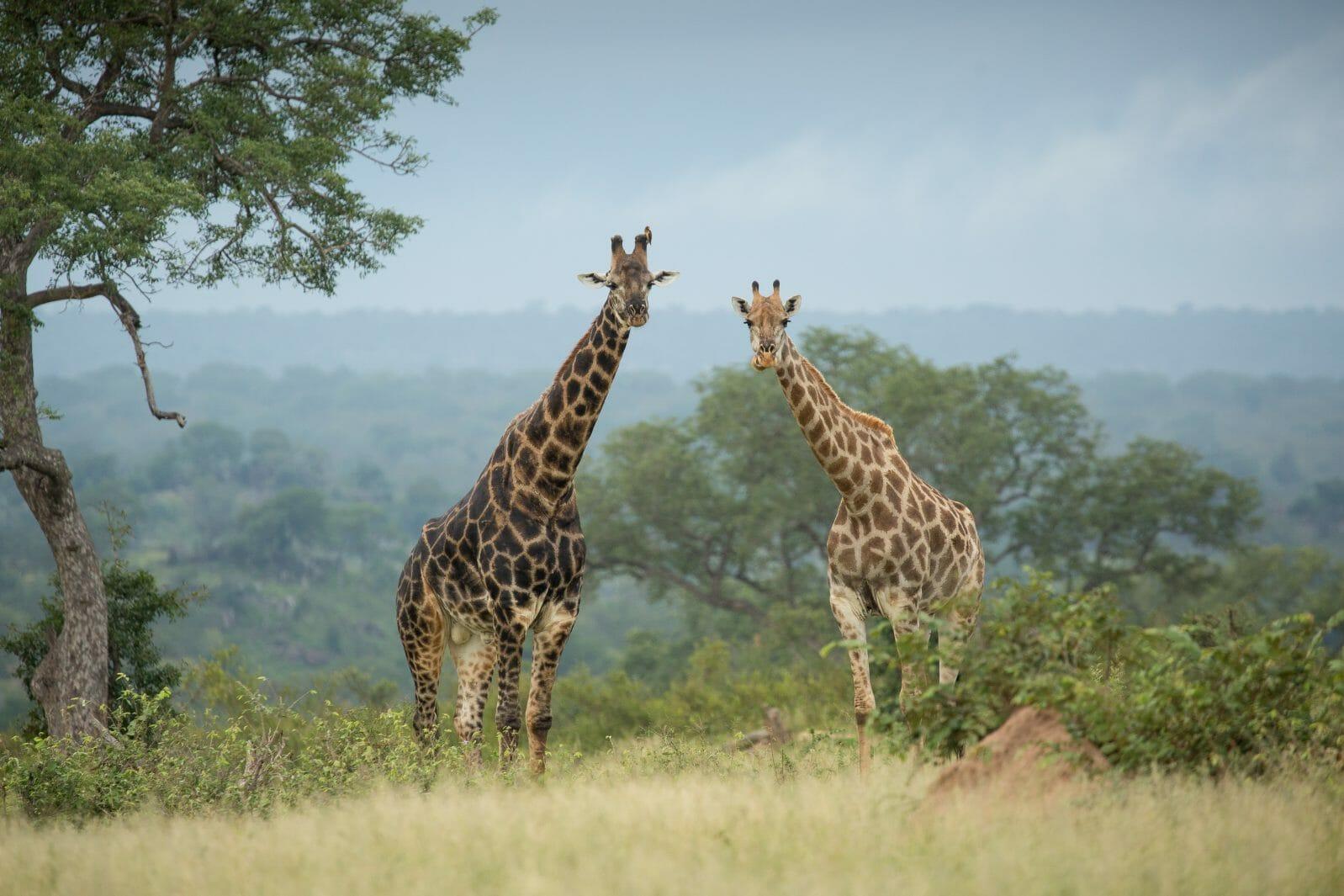 Giraffe Pair Jt