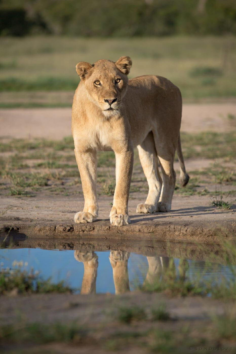 Mhangeni Lioness Jt