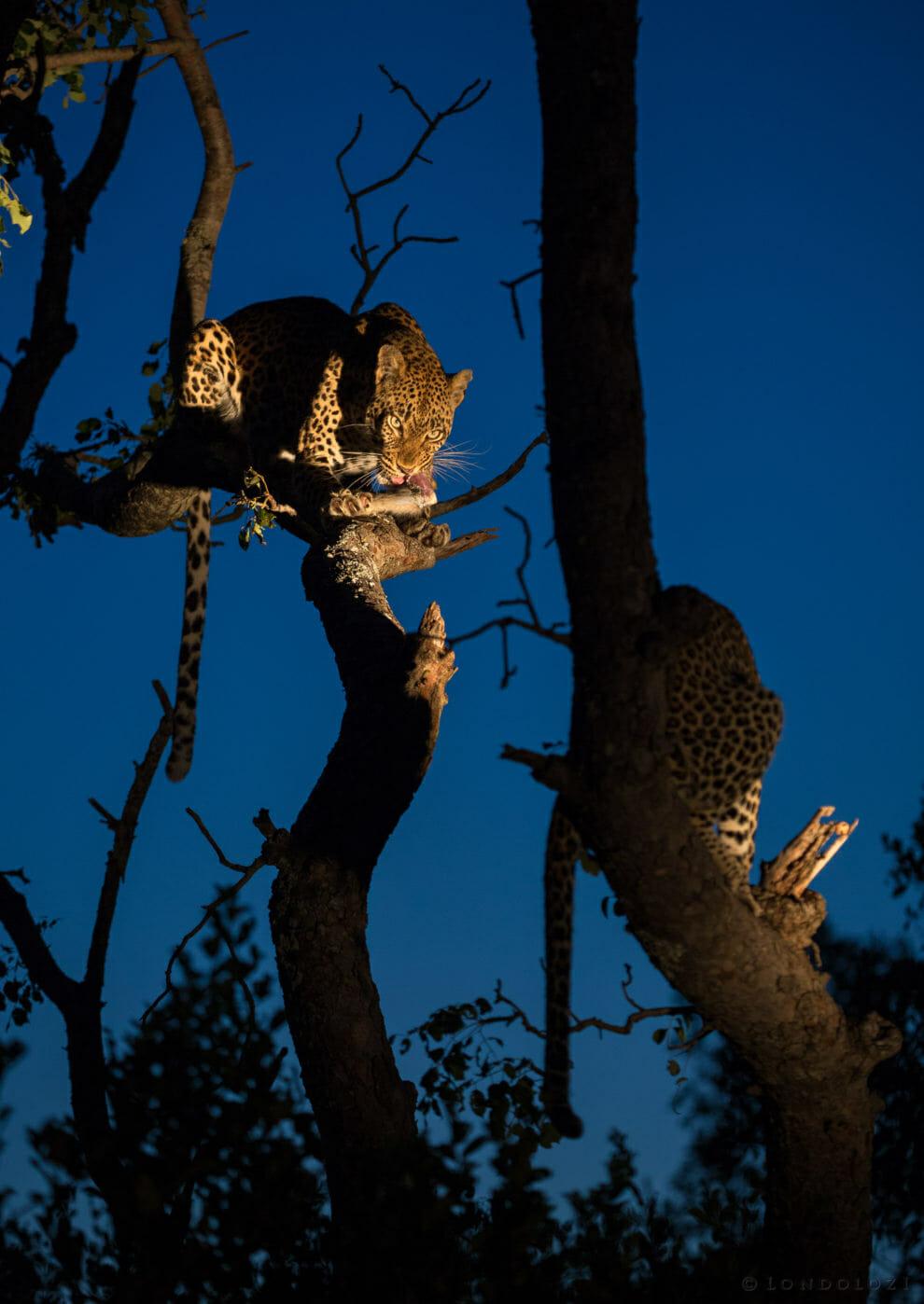 Tamboti Cub Blue Leopard