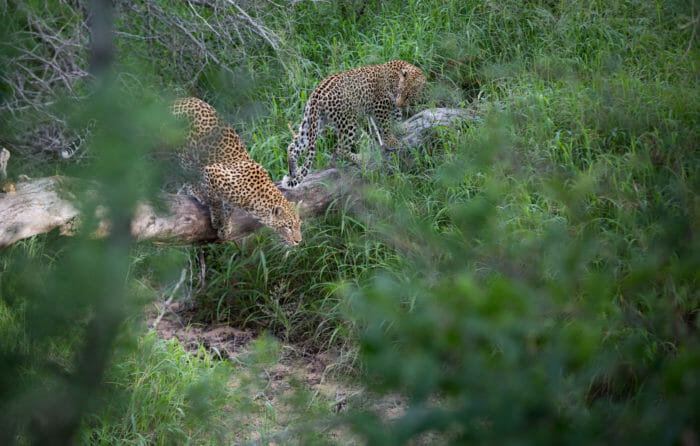 Tamboti Leopard And Cub Jt