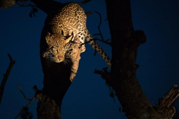 Tamboti Leopard Cub Spotlight Jt