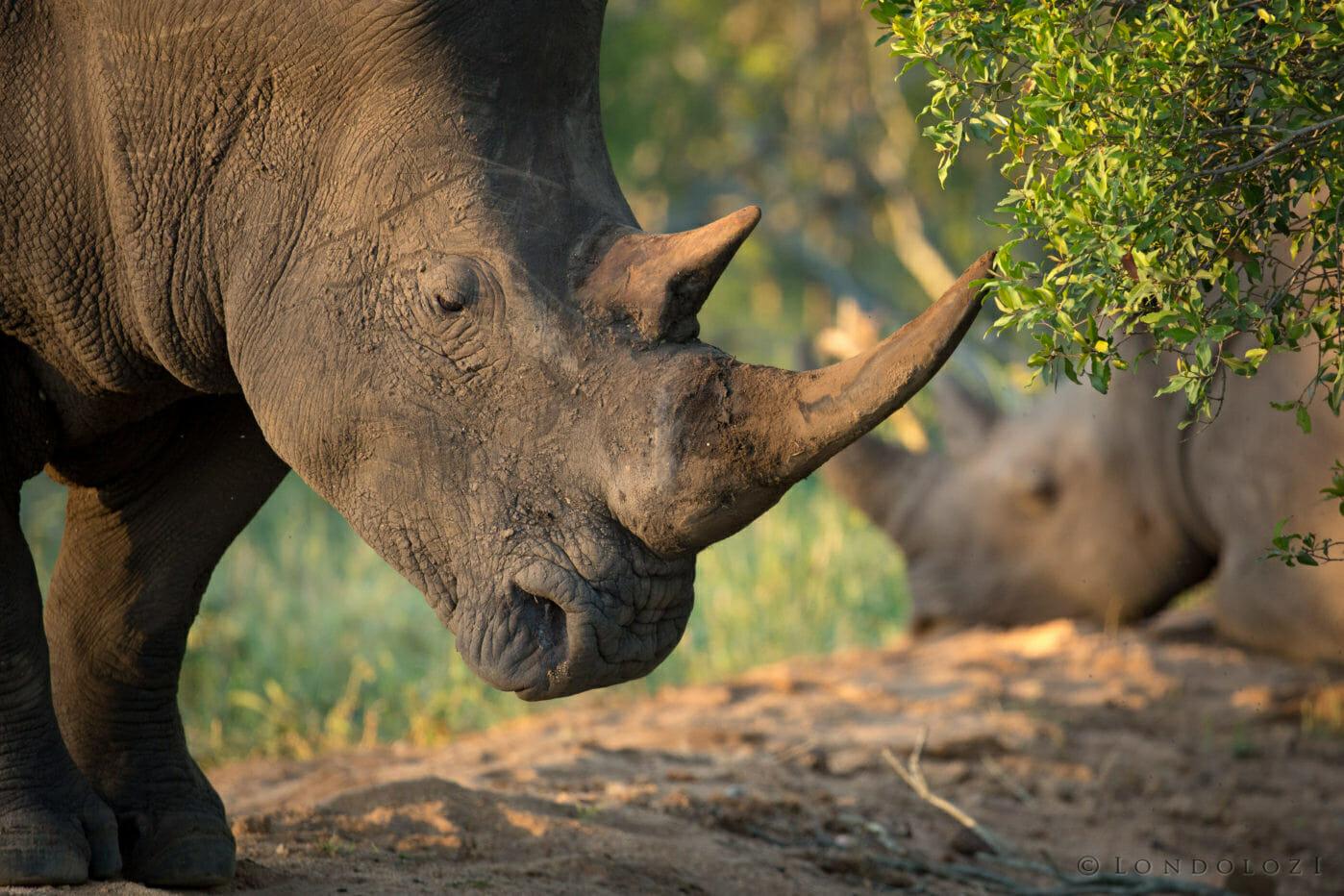 White Rhino Bull Jt