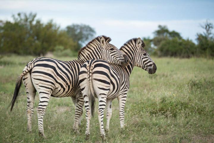 Zebra Pair Jt