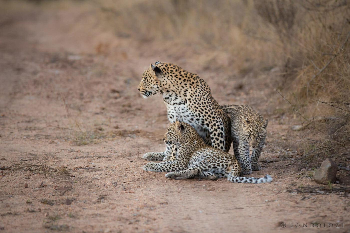 Nkoveni Female Cubs 2017 Jt