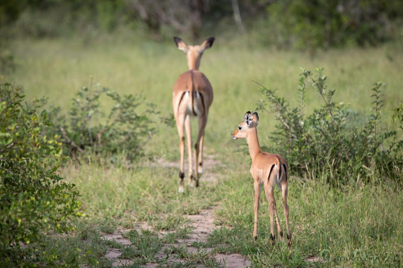 Impala Lamb