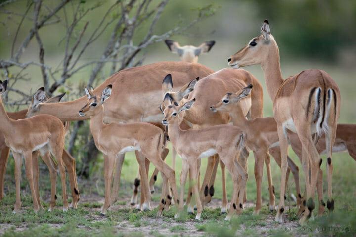 Impala Lamb 3 Jt