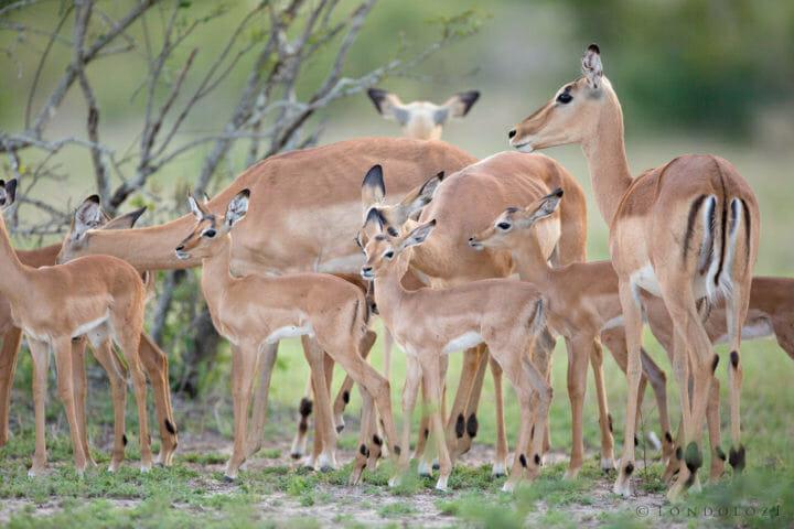 Impala Lamb Herd Jt