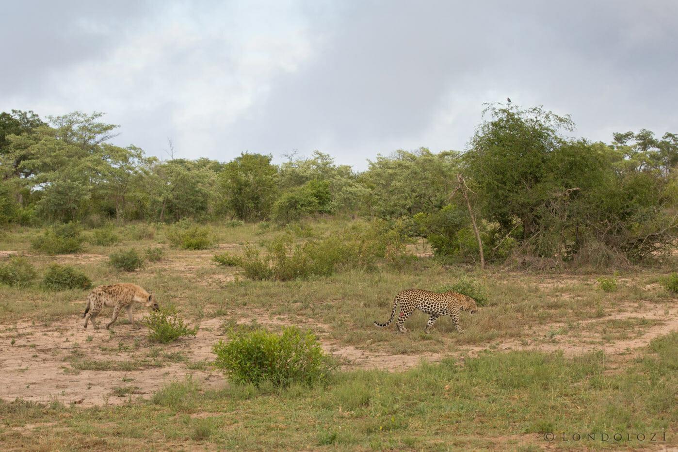 Hyena Flat Rock Leopard Jt