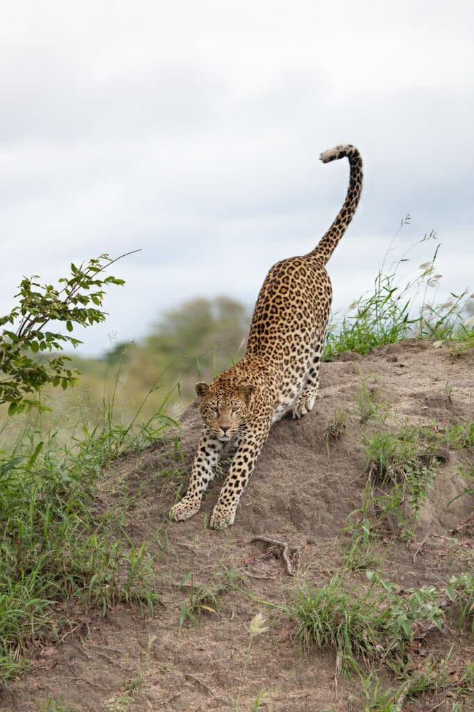 Mashaba female leopard, termite mound, stretch, PT, 2018