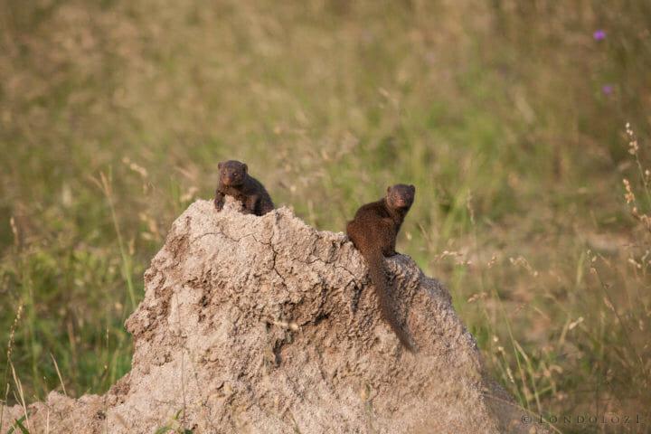 Dwarf mongoose, termite mound PT 2018