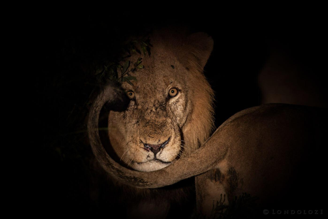Birmingham male lion, night photography PT 2018