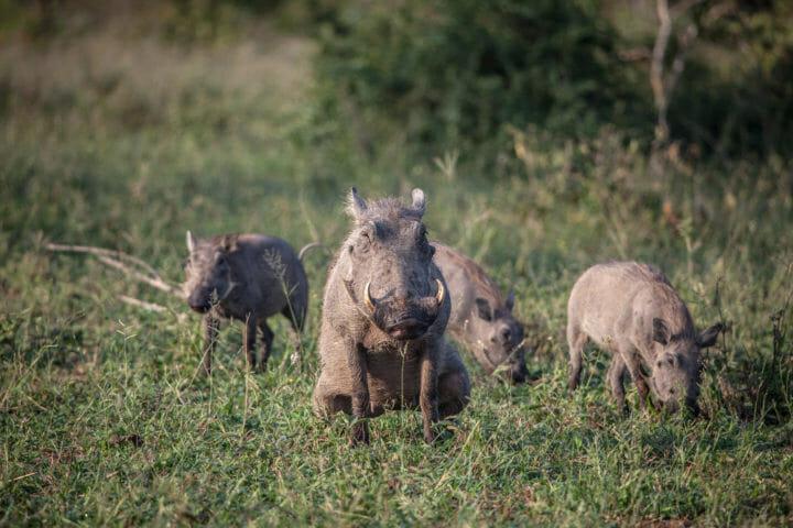 Warthog, sounder, urinate PT 2018
