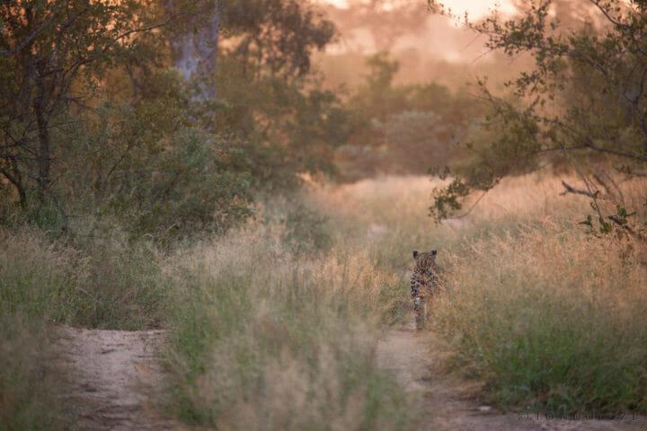 Tamboti female leopard, sunrise, grass, PT, 2018