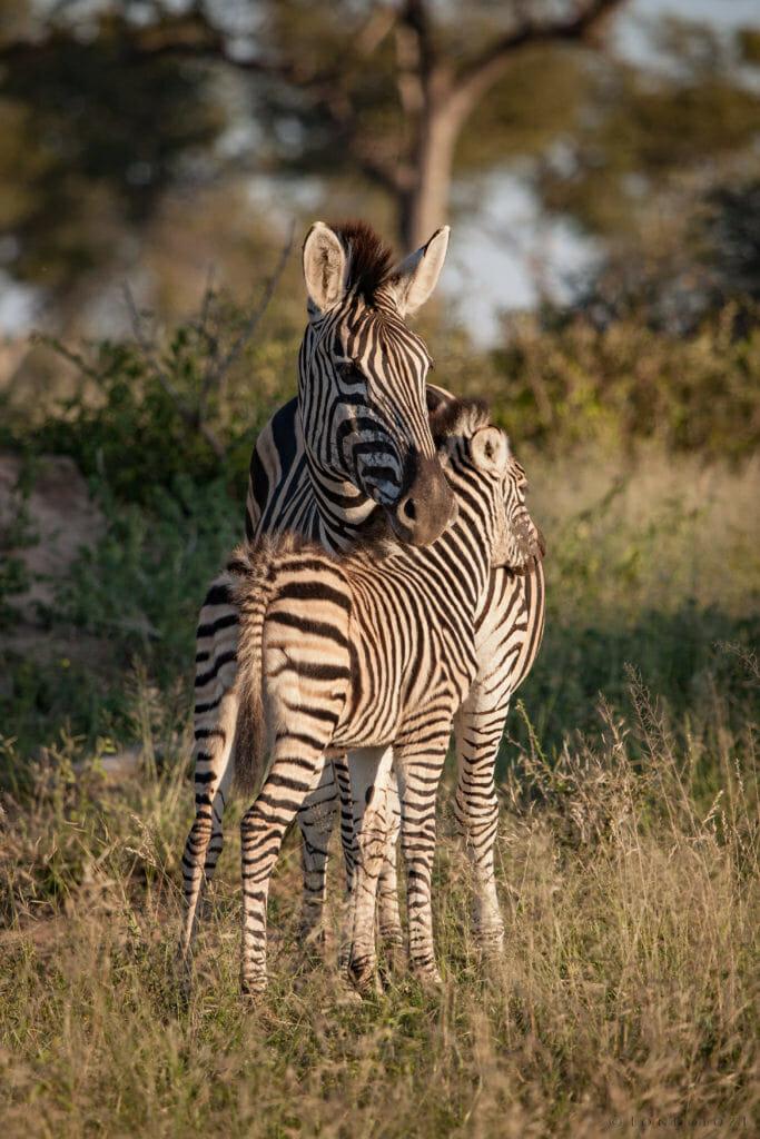 zebra, mother, foal, PT 2018