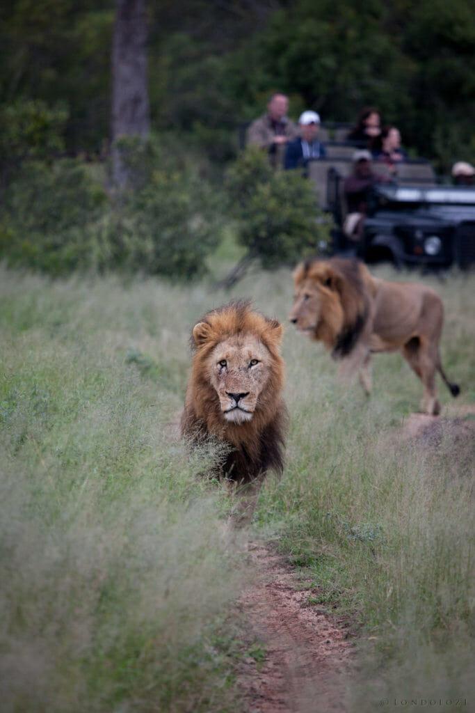 Male lions, birmingham coalition, PT 2018