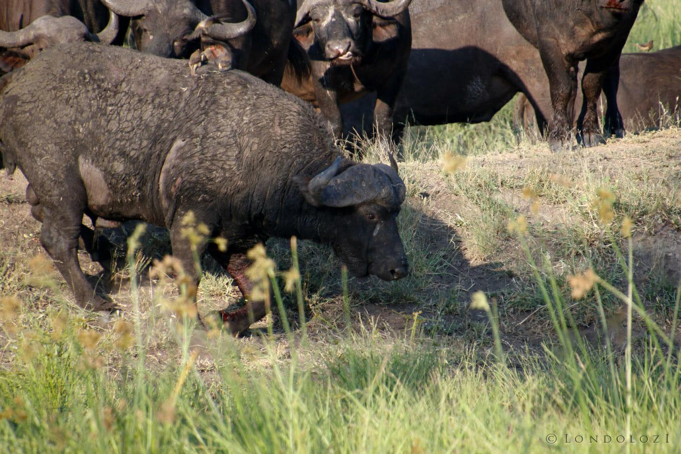 Buffalo Rj 2