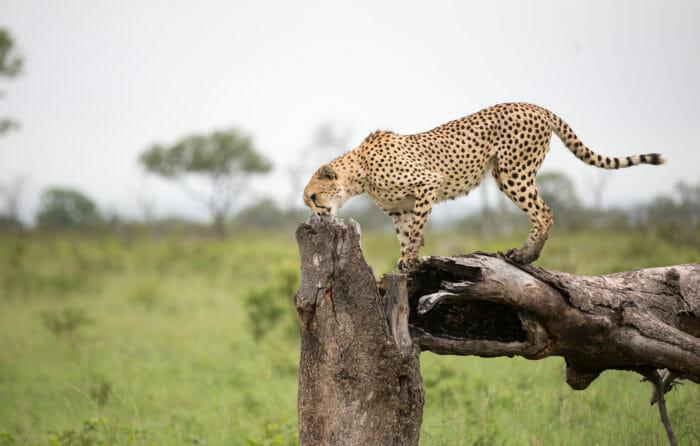 Cheetah Jt