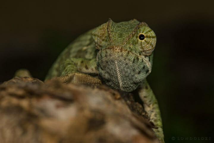 Rob Crankshaw Chameleon 1