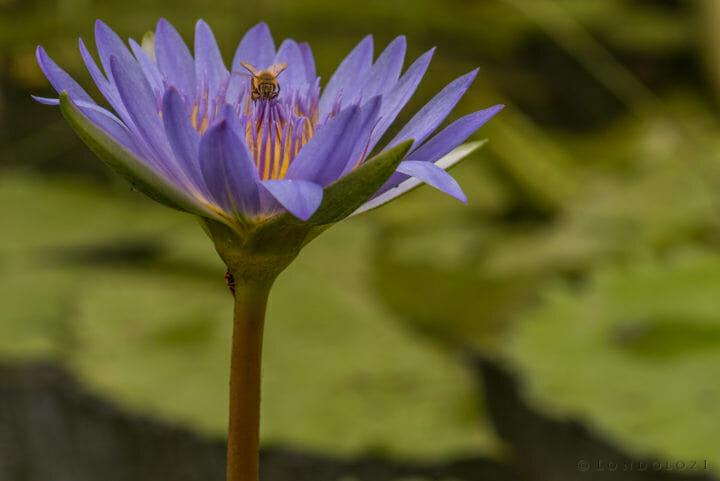 Rob Crankshaw Water Lilly Bee 1