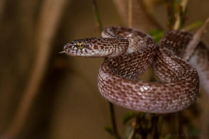 Rob Crankshaw Marbled Tree Snake 2