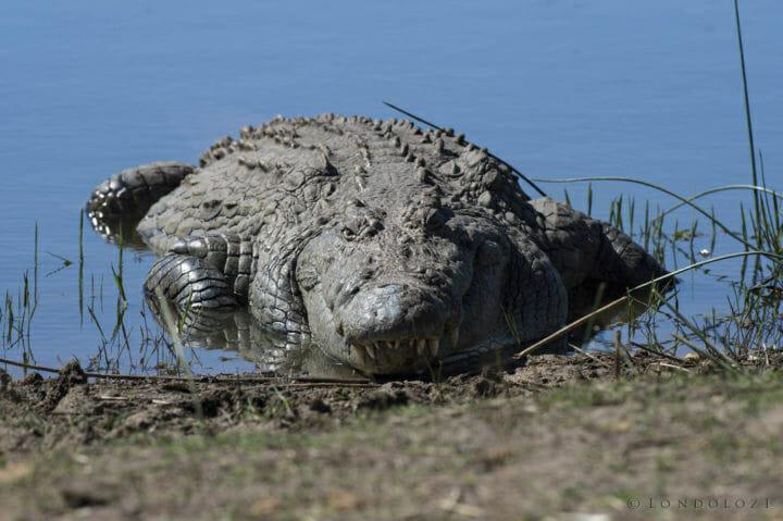 Croc Skb