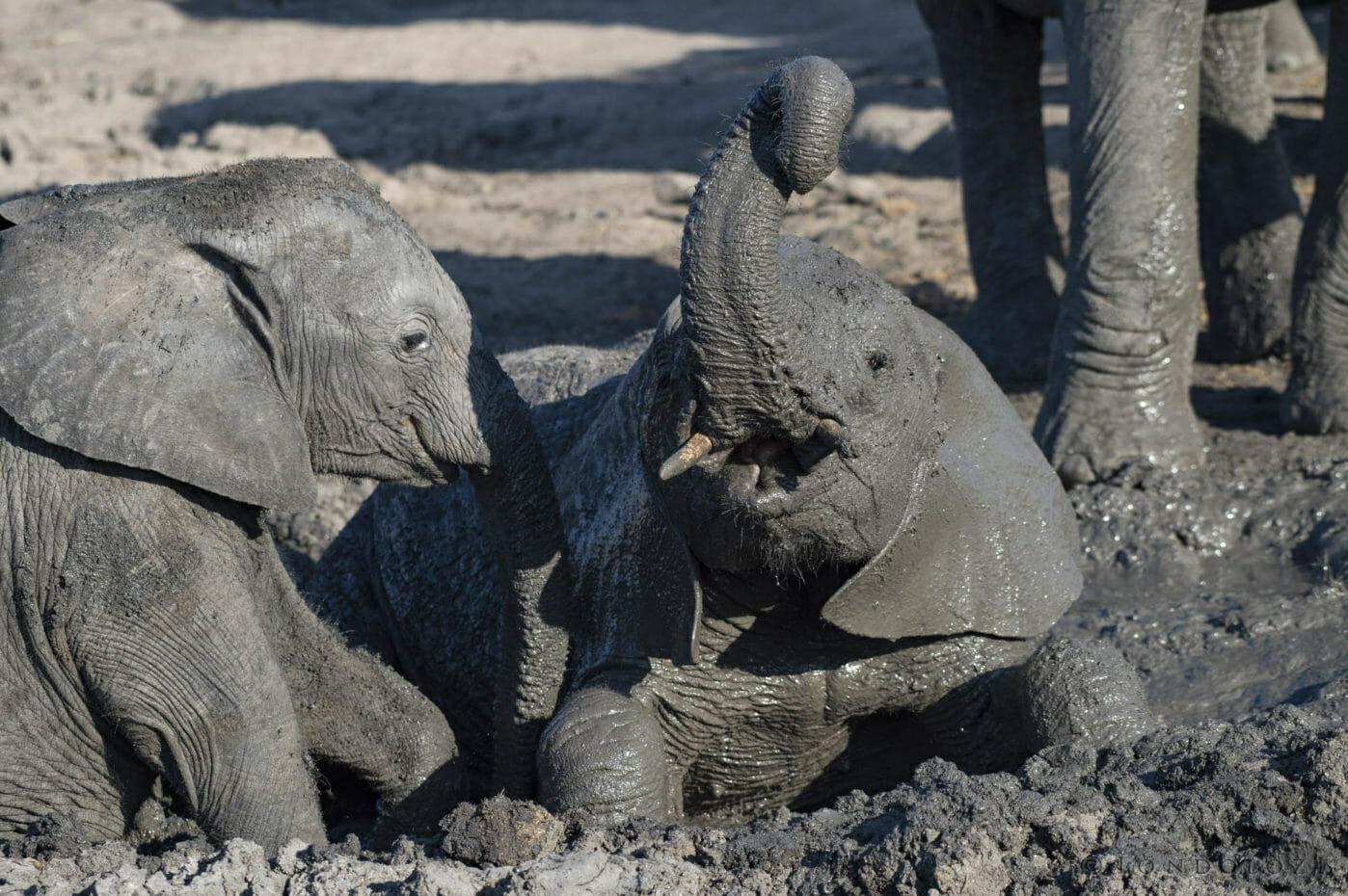 Elephant Calves Wallow Skb