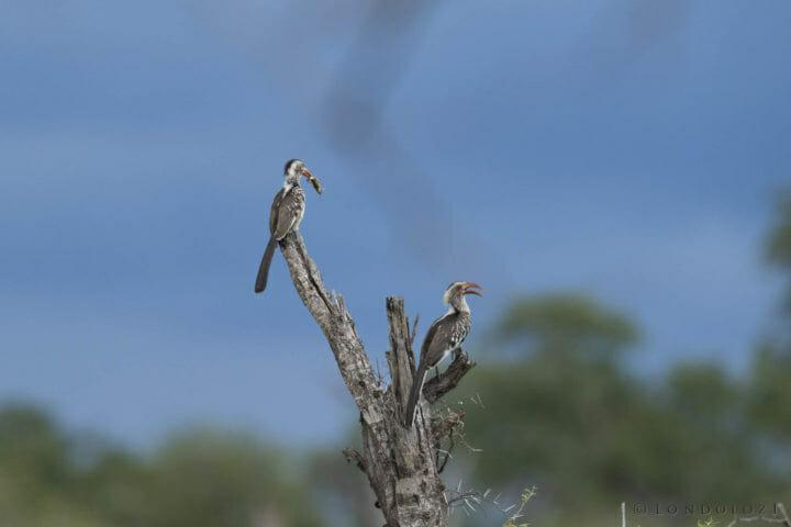 Hornbills Skb