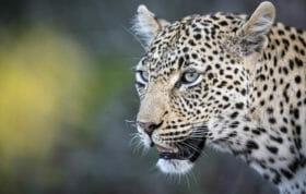 Nanga Female Leopard Skb