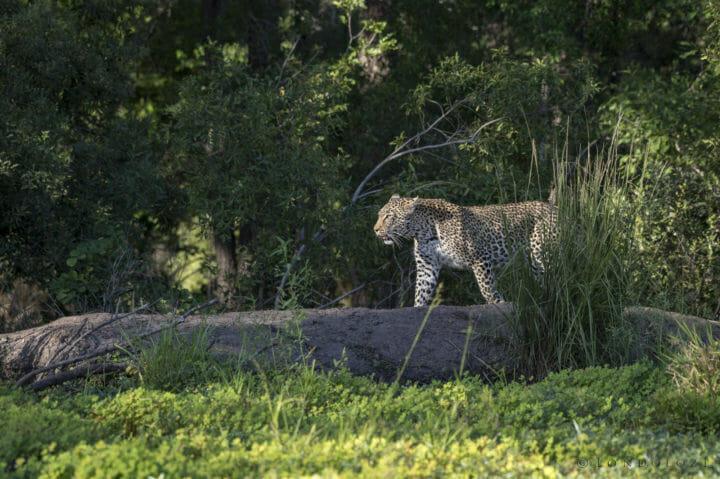 Nanga Leopard Skb