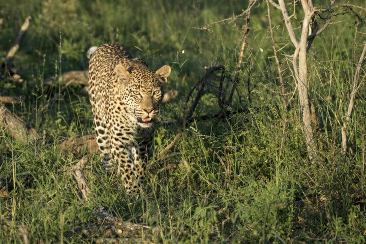 Nkoveni Leopard Skb