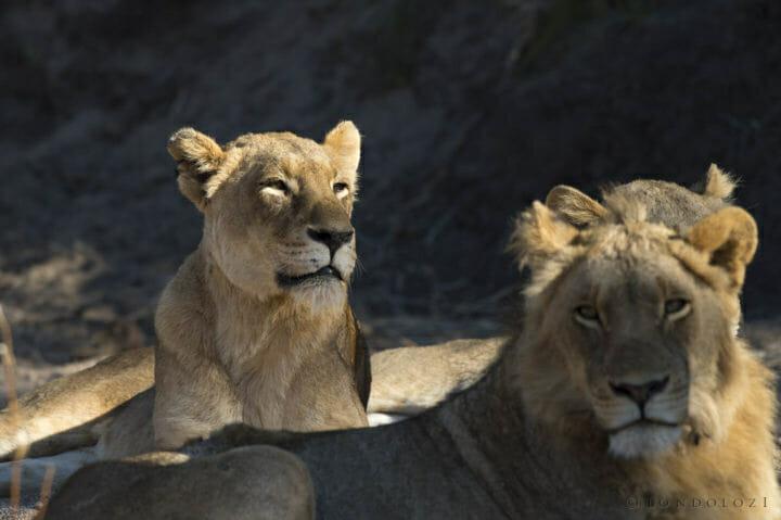 Tsalala Tailless Lion Skb