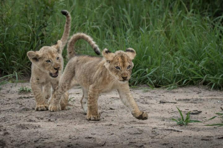 Ntsevu cubs - AJ 2018