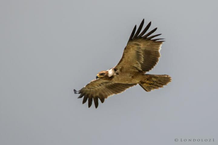 Tawny eagle - AJ