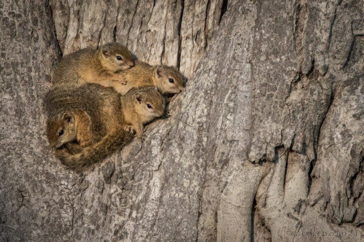 Tree squirrels - AJ