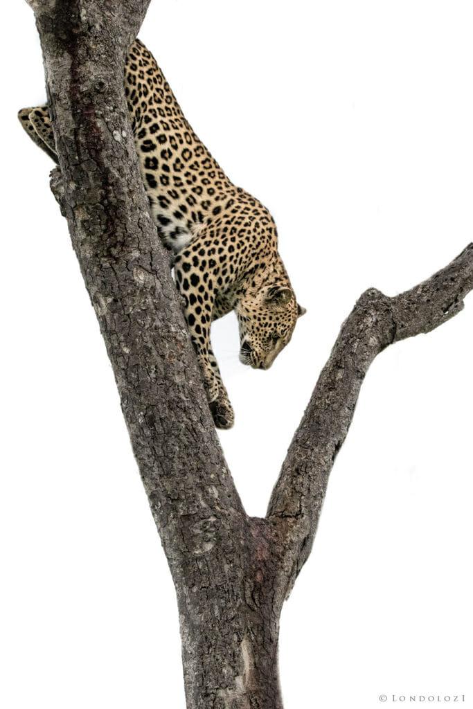 Ximungwe, tree - AJ