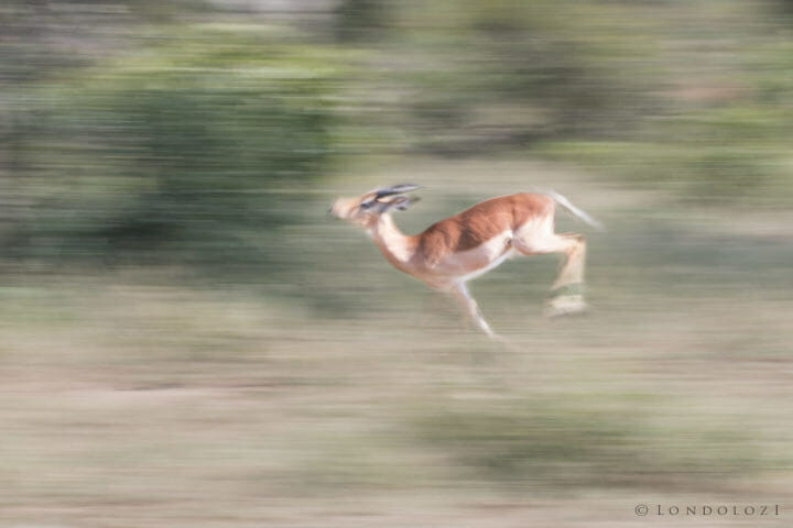 Impala, motion blur - AJ