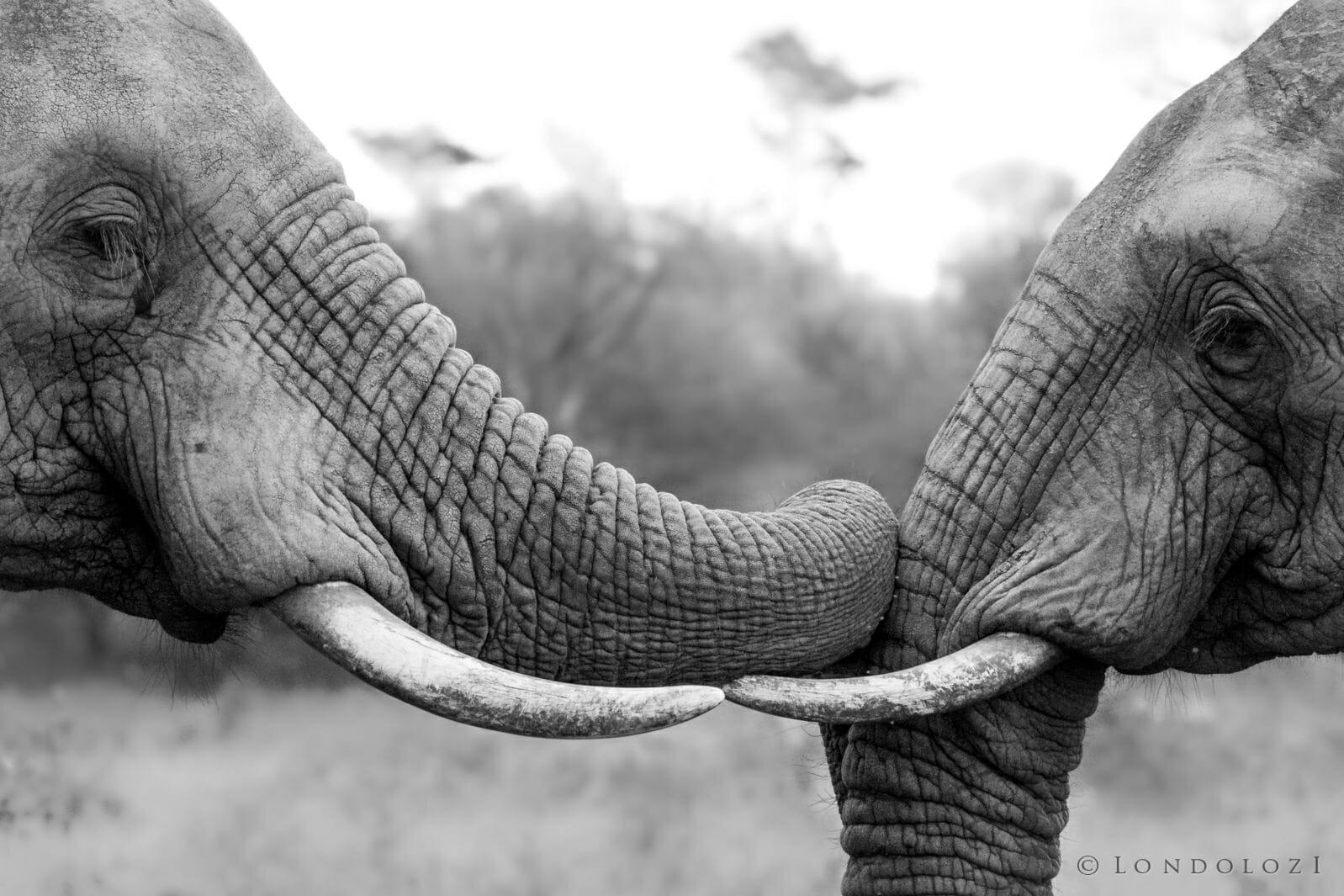 Elephant - AJ