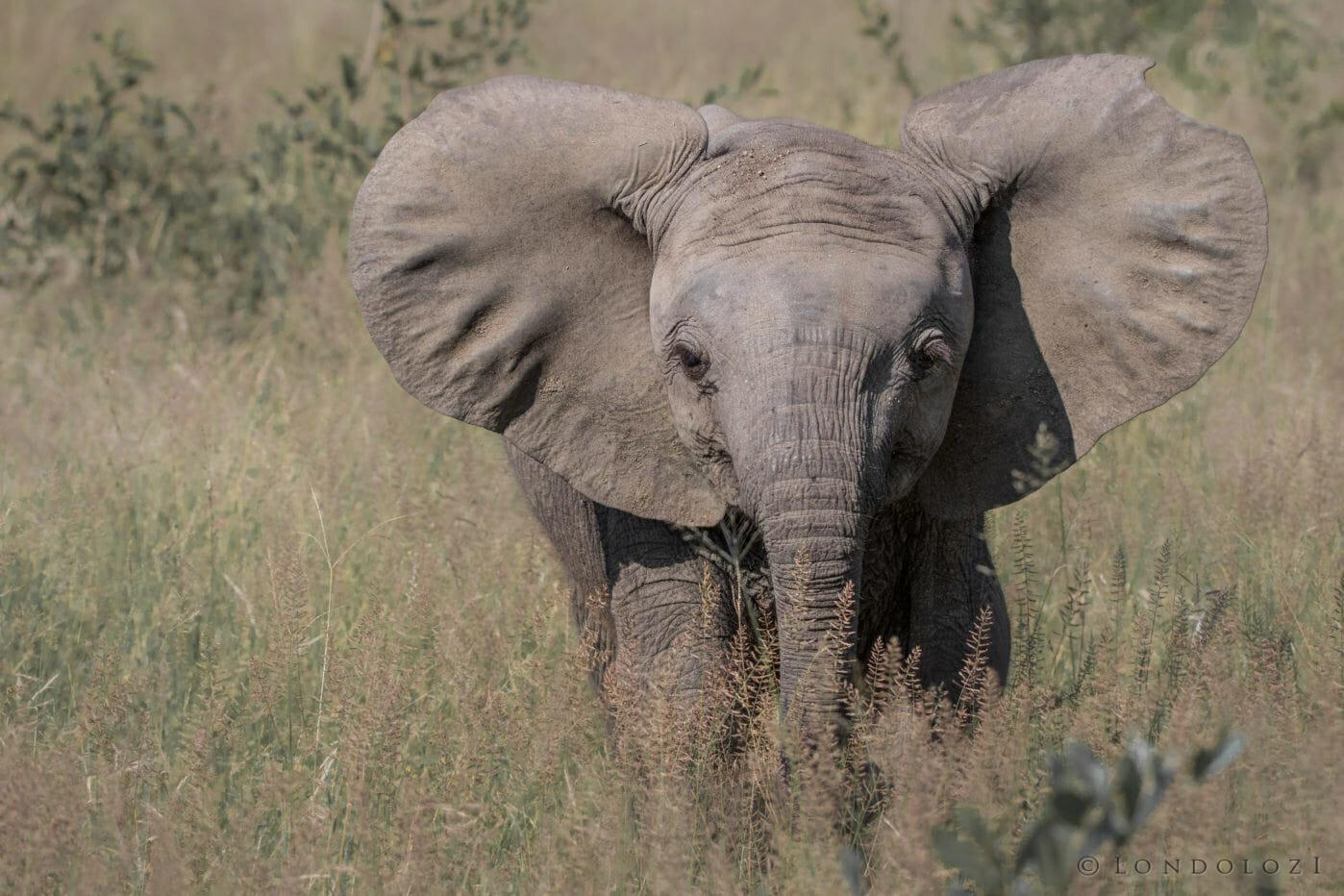 Elephant Calf - AJ