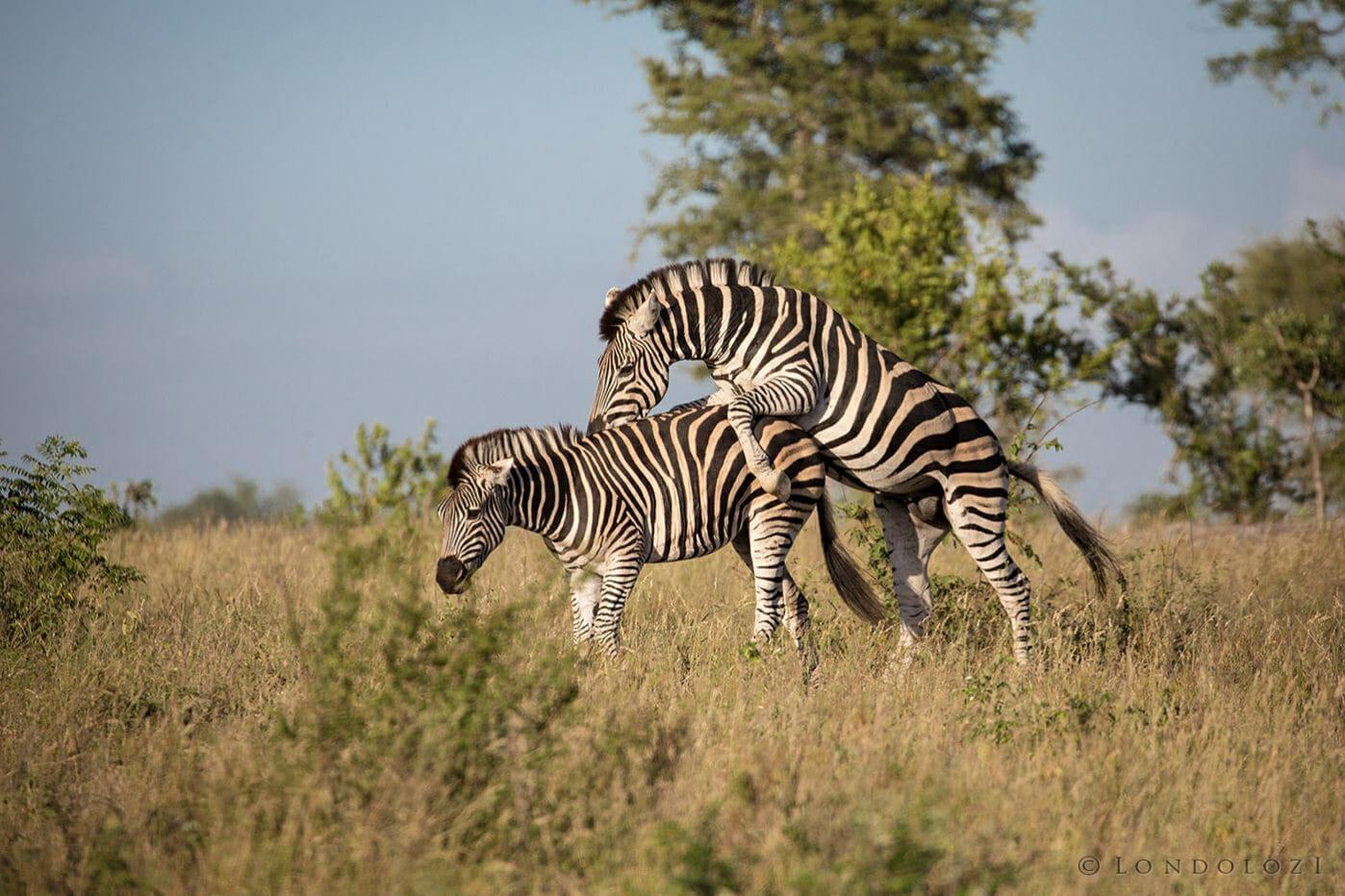 Zebras Mating Image Londolozi Fine Art
