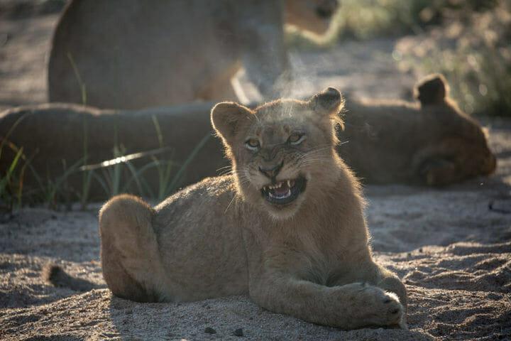 Tsala Lion Cub