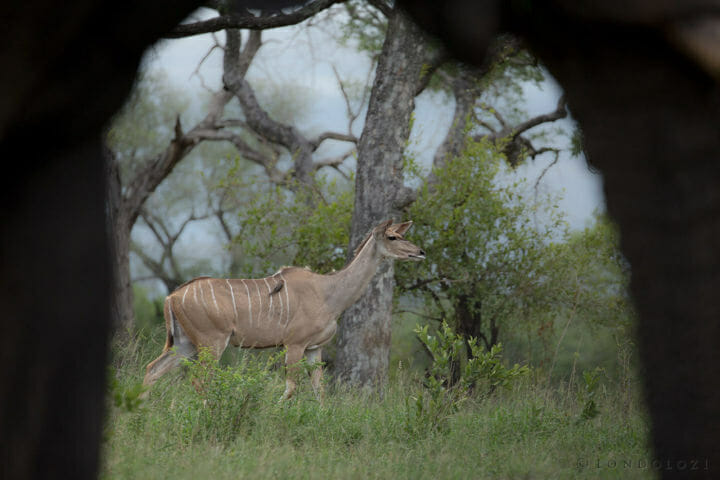 Kudu Through Elephant Legs