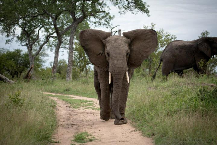 Elephant Big Ears
