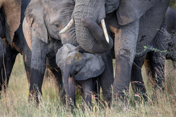 Elephant Baby Poo
