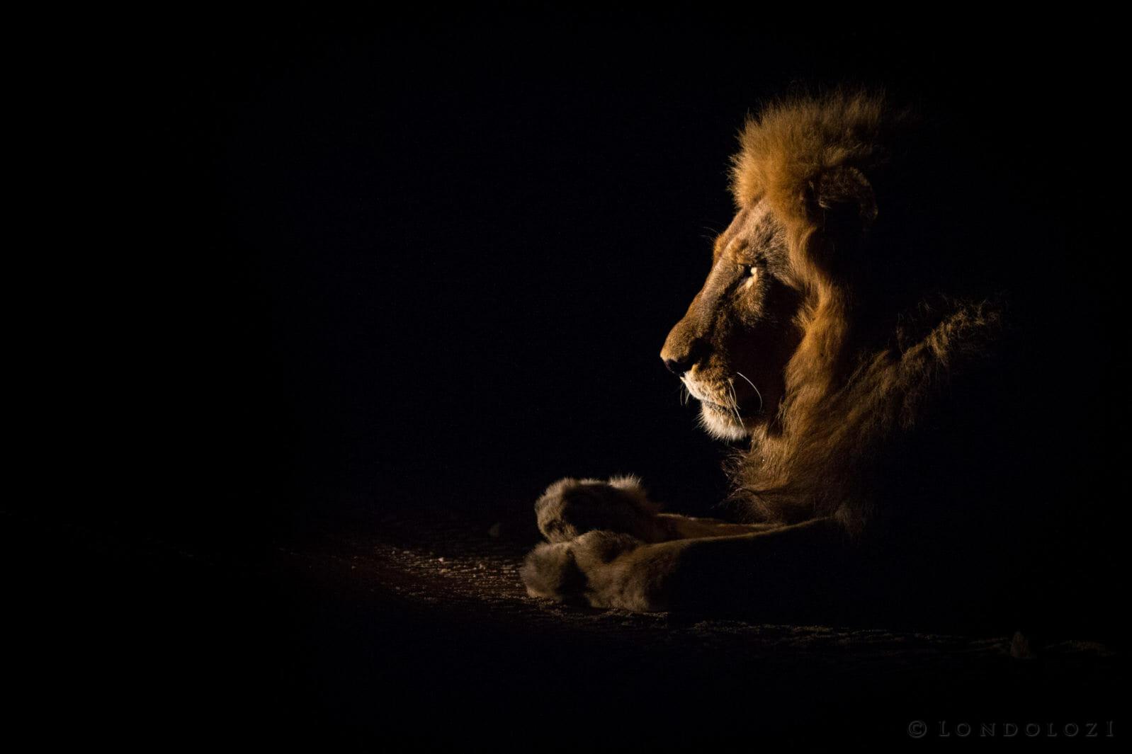 Matimba Lion Spotlight JT
