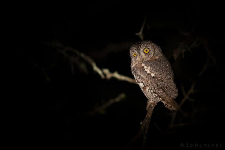 Scops Owl Spotlight Jt