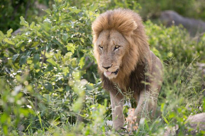 Ginger Matimba Male Lion Jt