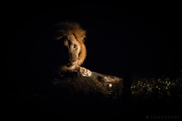 Matimba Male Lion Spotlight Jt